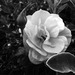 Lonely Rose - Doncaster - England