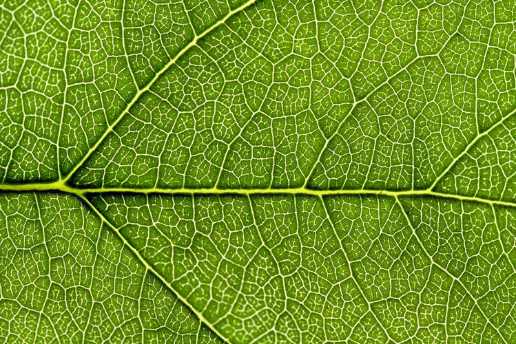 Structure of a green leaf - In garden